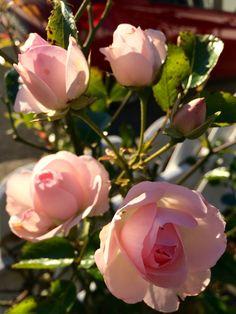 Розы в саду🌹🌹🌹