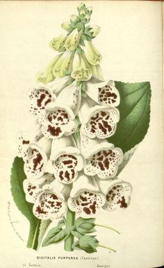 Digitalis purpurea (Common Foxglove).Illustration taken from...