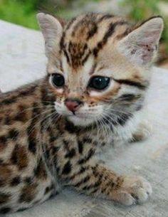 Leopard kitten. Awwww.