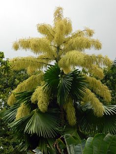 Corypha umbraculifera, the talipot palm. It is extinct in the wild. One of the largest palms in the world, it has the largest inflorescenc… Unique Trees, Unusual Plants, Rare Plants, Tropical Garden, Tropical Plants, Trees And Shrubs, Trees To Plant, Palmiers, Old Trees