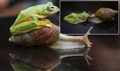 Indonesian flying frog tries to hitch a ride on snail's back