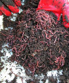 Gardening Compost What and what not to feed worm-farm worms. Garden Compost, Garden Soil, Vegetable Garden, Garden Care, Organic Gardening, Gardening Tips, Container Gardening, Red Wigglers, Red Worms