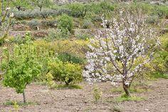 Los frutales ya están en plena floración en la fértil Vega de Berja.