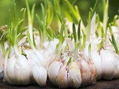 Growing Garlic for Beginners. I really don't know too many people who don't like, if not love, the taste of garlic. We easily use bulbs of garlic a Raw Garlic, Garlic Bulb, Ficus Pumila, Growing Plants, Growing Vegetables, Planter Ail, Tree Pruning, Edible Plants, Back Gardens