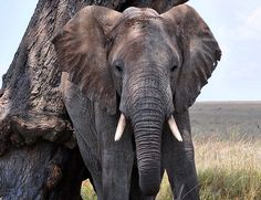 """Opplev """"The Big Five"""" og mye mer  Uansett når på året du reiser på safari i Tanzania, har du gode muligheter for å oppleve The Big Five. Tanzania Safari, Dubai, Elephant, Animals, Africa, Animales, Animaux, Elephants, Animal"""