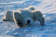 The Polar Bear Work Out DVD