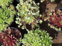 a mixture of succulents sedum, sinocrassula and sempervirens perfect outdoor plants www.funkyflowers.org