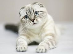 Scottish Fold Cats - Breed Profile and Facts                                                                                                                                                                                 More