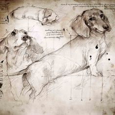 """Dachshund Study (Italian)"" A full size Da Vinci style drawing. Check out Sam Bertie's dog art board - for more amazing dog art pins! Dachshund Funny, Arte Dachshund, Dachshund Love, Daschund, Vintage Dachshund, Dachshund Drawing, Cat Drawing, Life Drawing, Dachshund Zeichnung"