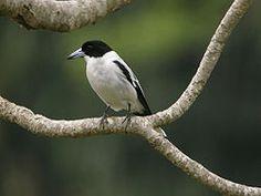 El verdugo dorsinegro (Cracticus mentalis) es una especie de ave en la familia Artamidae. Se la encuentra en Papúa Nueva Guinea, Indonesia, y el norte de Queensland en Australia.