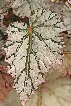 Begonia 'Fairy'