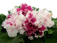 African Violet Plug Plant LE Vzbitye Slivki Ukrainian Variety | eBay