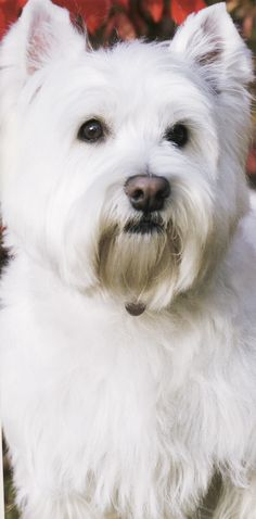 Westie West Highland White Terrier - non/low shedding calm tempered non hyper dog breed