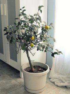 Guide to Indoor Citrus