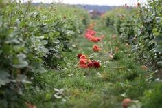 Life On An Organic Flower Farm. Images by Erin Benzakein. More...