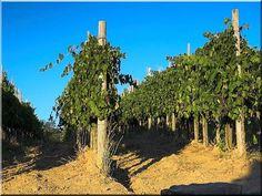 Hegyezett, kezelt akác szőlőoszlop, szőlőtám – garden surround ———-… - Do Garden Pasture Fencing, Horse Fencing, Rustic Fence, Metal Fence, Garden Fountains, Garden Edging, Vineyard, Pergola, Country Roads