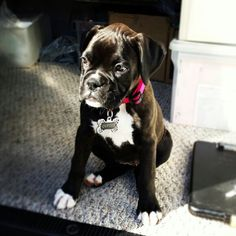Boxer puppie little Elvira