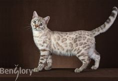 Bengal cat Sumarum Bobislav of Benglory. Seal Spotted Linx Tabby Point #Bengal #cats