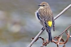 During fall migration, starting around now and through the end of October, huge numbers of yellow-rumped warblers—sometimes hundreds at one site in a single day—will flood our area. Description from bbg.org. I searched for this on bing.com/images