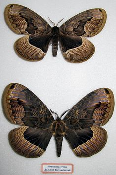 Sino-Korean Owl Moth