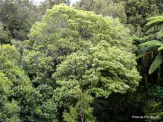 Taranaki Educational Resource: Research, Analysis and Information Network - Pittosporum eugenioides (Lemonwood). Native Plants, Research, Education, Search, Onderwijs, Learning, Science Inquiry