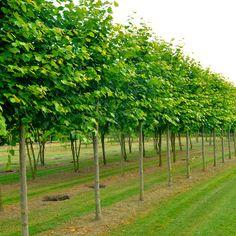 arbre paliss persistant arbres paliss s en espalier ou rideau pinterest hedges privacy. Black Bedroom Furniture Sets. Home Design Ideas