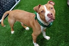 TO BE DESTROYED 06/01/17 **ON PUBLIC LIST** A volunteer writes: Are you ready to par-tay? Cody is! Super energetic and puppy playful, Cody is excited to be outside for some playtime, a chance to go potty and explore our pen. Toys are terrific to toss around, and when a staff person is hosing down the adjoining pen, Cody is at the gate to play in some overflow water, and of course, to supervise the endeavor! He's a gorgeous pup, slender in his light caramel color coat, his eyes b...