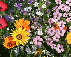 Gartentipps im März für Sommerblumen