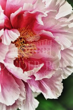 Magical garden entrance garnered with peonies Amazing Flowers, Pretty Flowers, Pink Flowers, Exotic Flowers, Yellow Roses, Pink Roses, Beautiful Flowers Photos, Colorful Roses, Fresh Flowers
