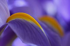 Purple Iris abstract flower photography artwork from my flower photography collection. www.RothGalleries.com