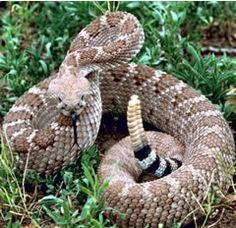 Google Image Result for http://www.staroftexasvet.com/sites/site-2869/images/rattlesnake.jpg