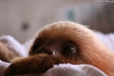 Peek-a-boo! Sloths are ridiculously cute but their skeletons are horrifying