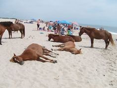 Wild Ponies Assateague Island - located off the coast of Maryland & Virginia. Wild ponies who spend time prancing in the streets,taking leisurely swims in the oceans, sunning themselves on the beach right alongside families. The picture was taken on a crowded Saturday afternoon. WOW