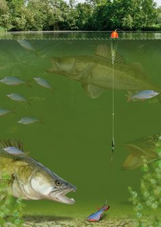 Roving float rig for predator fish
