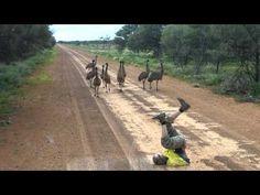 The Great Emu War: In which some large, flightless birds unwittingly foiled the Australian Army Australian Men, Australian Animals, Emu War, Racing Pigeons, Flightless Bird, Scientific American, Cute Animals, Wild Animals, Farm Life