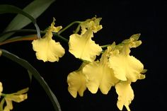 Brasilidium ottonis [Synonyms: Oncidium ottonis; Oncidium concolor var. ottonis; Concocidium ottonis]