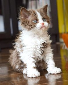 cat breeds The top 14 cats with the highest potential for playfulness according to the Cat Breed Center. Puppies And Kitties, Cute Cats And Kittens, Baby Cats, I Love Cats, Kittens Cutest, Pretty Cats, Beautiful Cats, Animals Beautiful, Selkirk Rex Kittens