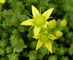 Biting stonecrop (Sedum acre). Sedum is a large genus of leaf succulent flowering plants in the family Crassulaceae, members of which are commonly known as stonecrops. The flowers usually have five petals, seldom four or six. There are typically twice as many stamens as petals - Wikipedia, the free encyclopedia