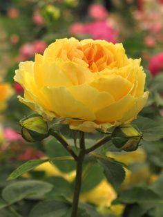 'Molineux' English rose