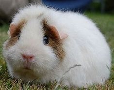 Guinea pig cages. Try to make sure that your gorgeous guinea pigs currently have the very best things in life. A big guinea pig cage, or run, not only helps make all of them more fun to observe, but guarantees they get the workout that they require in order to continue to be healthy and fit.