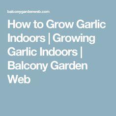 How to Grow Garlic Indoors   Growing Garlic Indoors   Balcony Garden Web