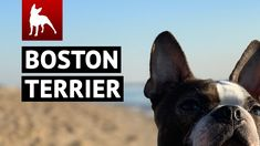 Check out this amazing Boston Terrier compilation. Many of the best video clips featuring the Boston Terrier.