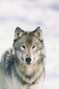As the caretaker of 3 wolves for 14 years, I can attest to the spirituality of these creatures. My life was changed by their spirits. I miss you, dear Treena, Timber, and Watash.