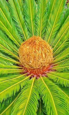 Enviroscapela.com landscape Contractor California  ✯ #cycad #sago #enviroscape #encephalartos