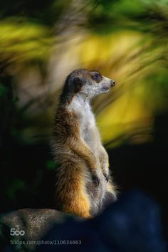 Month-old meerkat twins at Dudley Zoological Gardens | Gardens ...