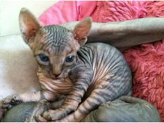 Munchkin Sphynx Cat | breed sphynx age 2 years price 750 tabby sphynx i