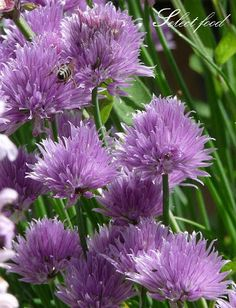 Select food: Ehető virágok-metélőhagyma /snidling/ Purple Garden, The Selection, Flowers, Plants, Food, Google, Essen, Meals, Plant