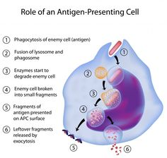 T cells   there also exists a subgroup of t cells known as t helper cells which ...