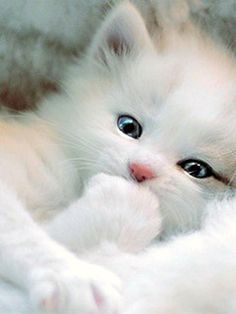 cute kittens funny kitty fluffy baby blue eyes beautiful kittens cutest so cute . Pretty Cats, Beautiful Cats, Animals Beautiful, Pretty Kitty, Beautiful Things, Pretty Animals, Gorgeous Eyes, Beautiful Pictures, White Persian Kittens