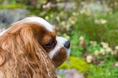 When I had my parents dog with me for couple of days #dog #doge #cavalier #pets #petlovers #photos #photoofday #animal